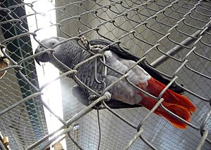 A Congo African Grey Parrot in World Parrot Re...