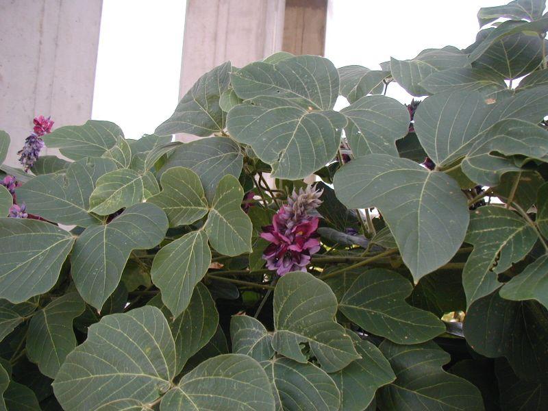 Kuzu - Pueraria lobata