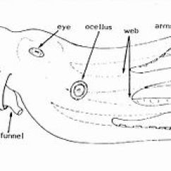 Labeled Diagram Of Octopus Ethernet Rj45 Wiring Wikipedia Schematic External Anatomy