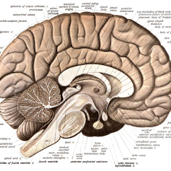 Brain Diagram Sagittal View 66 Mustang Wiring Neuroanatomy Wikipedia