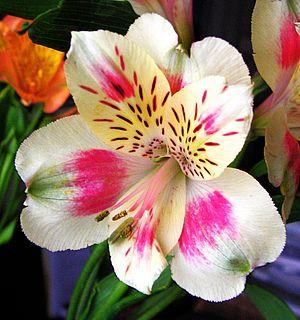 The flower of Alstroemeria cultivar