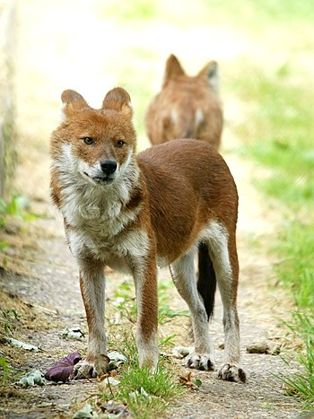 Dhole at Port Lympne Wild Animal Park, Kent, UK.