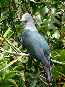 Imperial pigeon  Wikipedia