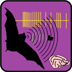 English: Echolocation in bats is one model sys...