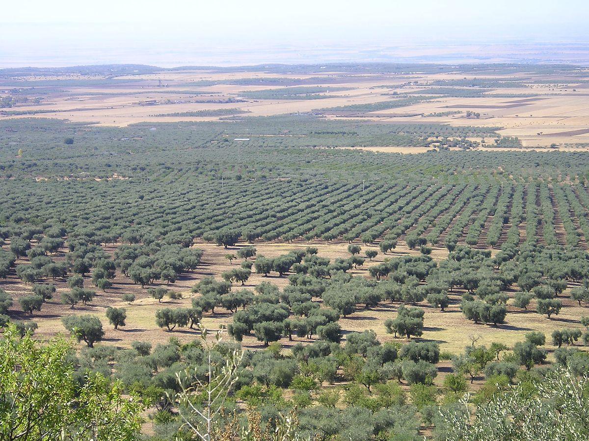 Oliveto  Wikipedia