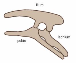 De typische bekkenstructuur van de Ornitischia met teruggeklapte pubes