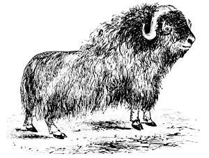 The musk ox