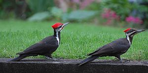 English: Mated pair of Pileated Woodpeckers.
