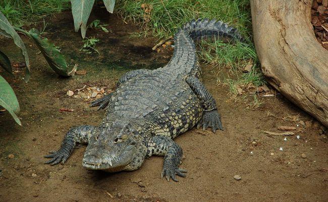 Morelet S Crocodile Wikipedia