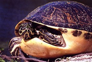 Florida Redbelly Turtle Pseudemys nelsoni