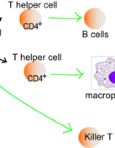 Function of  helper cells antigen presenting apcs present on their class ii mhc molecules mhc recognize these also immune system wikipedia rh enpedia