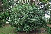 Orage jasmine shrub.JPG