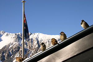 English: House Sparrows on a restaurant roof n...