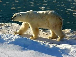 Polar Bear at Cape Churchill (Wapusk National ...
