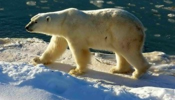 Claim: Rubbish Dump Polar Bears are