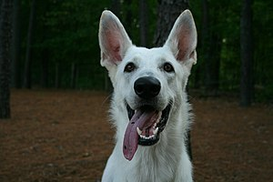 English: A young White German Shepherd dog wit...
