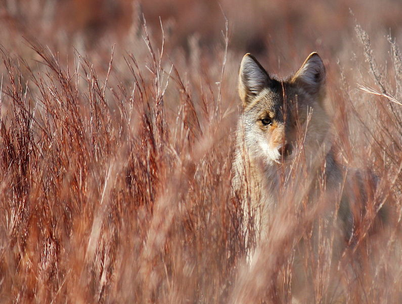 File:4th Place - Coyote in Little Bluestem in Red Hills (7469132472).jpg