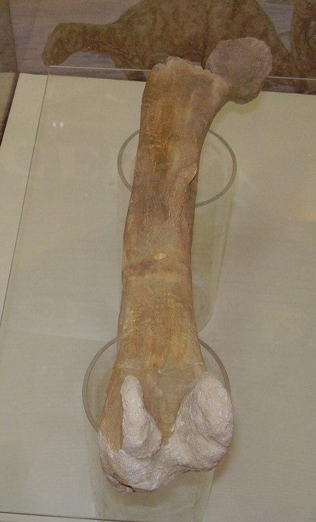 Stehenní kost českého iguanodonta