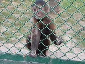 English: a little monkey in Lahore zoo