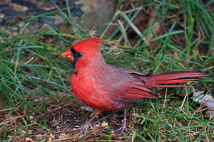 A red cardinal (cardinalidae)