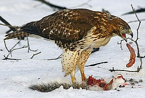Female Red-tailed Hawk (Buteo jamaicensis) eat...