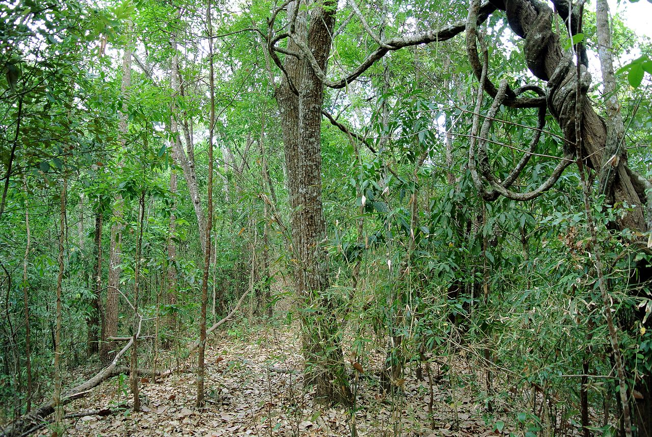 It is distribution is restricted to the narrow. File Subtropical Semi Evergreen Seasonal Forest In Northern Thailand Jpg Wikimedia Commons