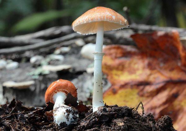 Leucoagaricus Rubrotinctus - Wikipedia