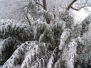 A fallen tree in a snowstorm