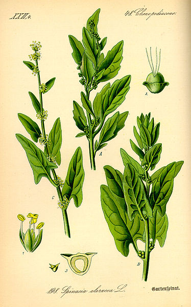 Datei:Illustration Spinacia oleracea0.jpg