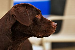 A chocolate Labrador Retriever named Hershey.
