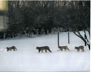 Lynx family photographed at the Nykiforuk farm...