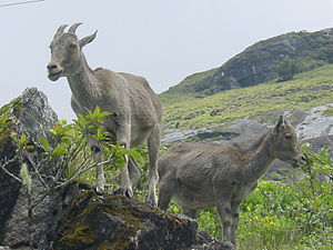 Nilgiri Tahr in The Nilgiris.