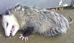 English: I found this Opossum playing dead on ...