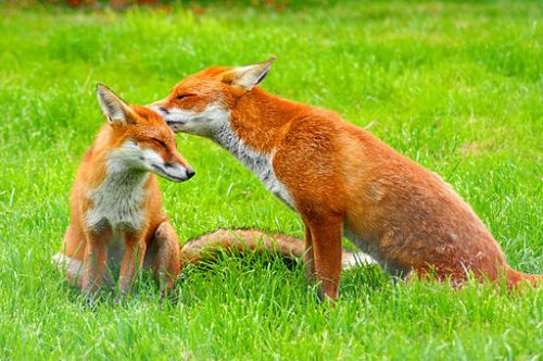 Red Foxes Wildlife Center