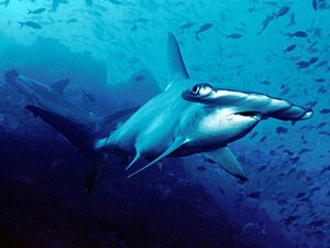 Scalloped hammerheads (Sphyrna lewini) off Coc...