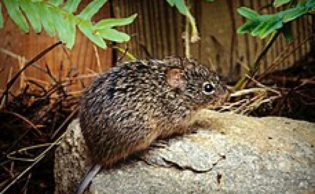 List Of Rodents Of The Caribbean Wikipedia