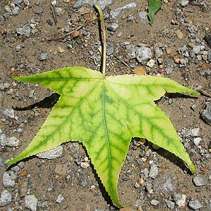 A sweetgum (Liquidambar styraciflua) leaf show...