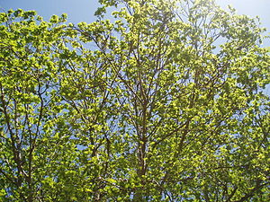 Platanus × hispanica leaves