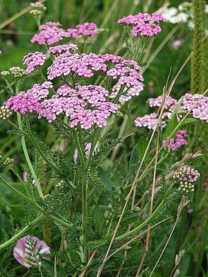 Yarrow - a very useful herb - geograph.org.uk ...