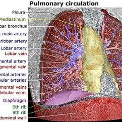 Vascular Anatomy Diagram Lower Venn On Microsoft Word Pulmonary Artery Wikipedia Arterial Tree Edit
