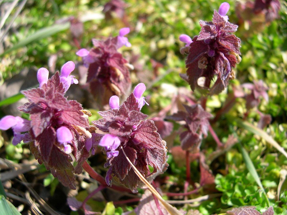 Lamium purpureum  Wikipedia