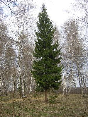 Picea abies, single tree. Russia, Ivanovo Dist...