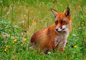 Red fox. Picture from Skandinavisk Dyrepark, D...