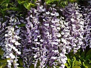 Wisteria in Bloom Wisteria Sinensis