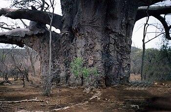 English: Adinsonia Digitata tree, taken on a f...