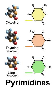 Basa Nitrogen Rna : nitrogen, Nucleobase, Wikipedia