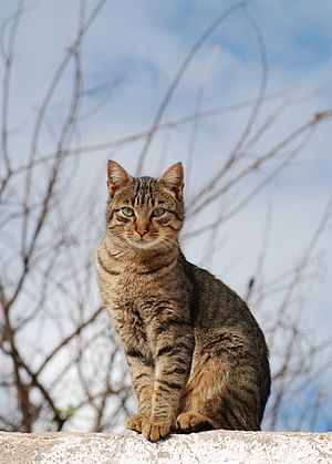 English: Young male tabby cat