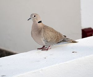 English: Collared Dove Nederlands: Veel voorko...