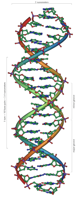 The structure of part of a DNA double helix