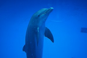 English: One of the dolphins at the Aquarium o...